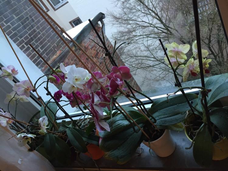 Einige der Phalaenopsis, die auf meiner Fensterbank stehen.