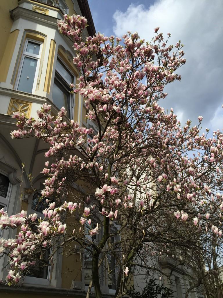 Blühende Magnolie <3