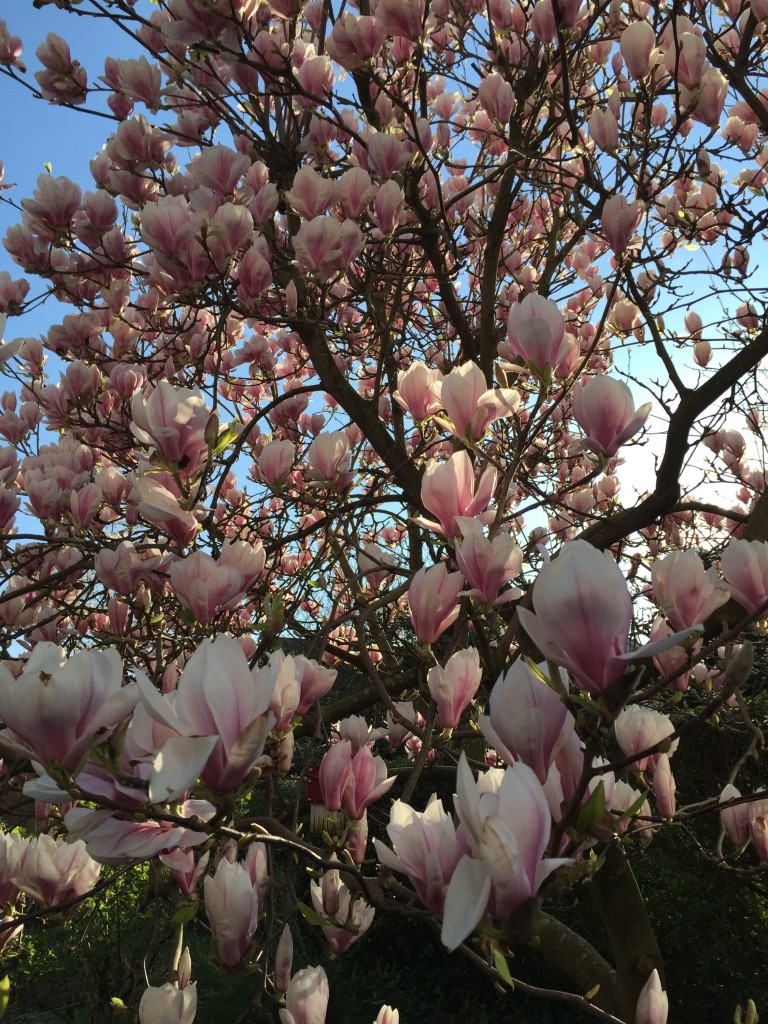 Magnolienblüten vor blauem Himmel