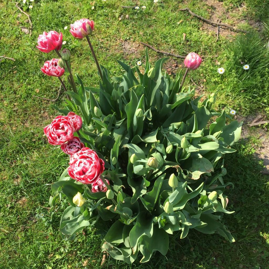 Blühende Tulpen