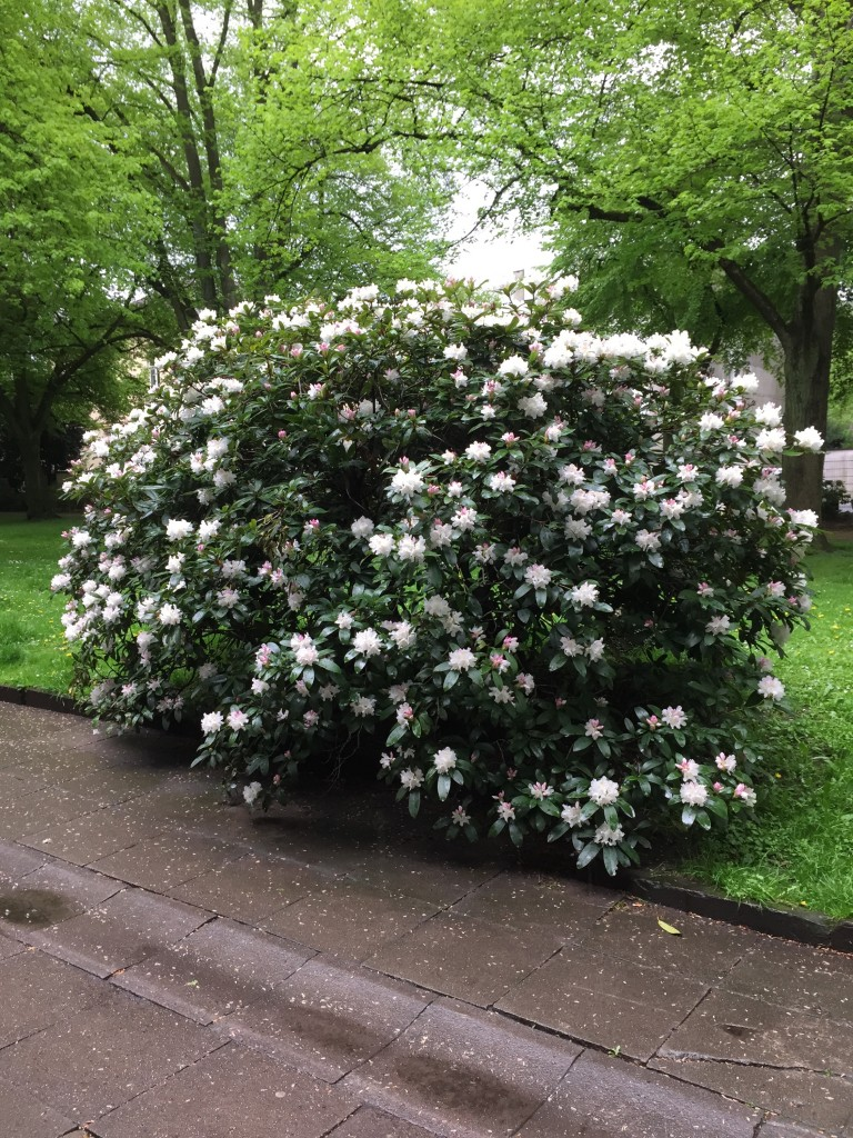 Weiß blühender Rhododendron.