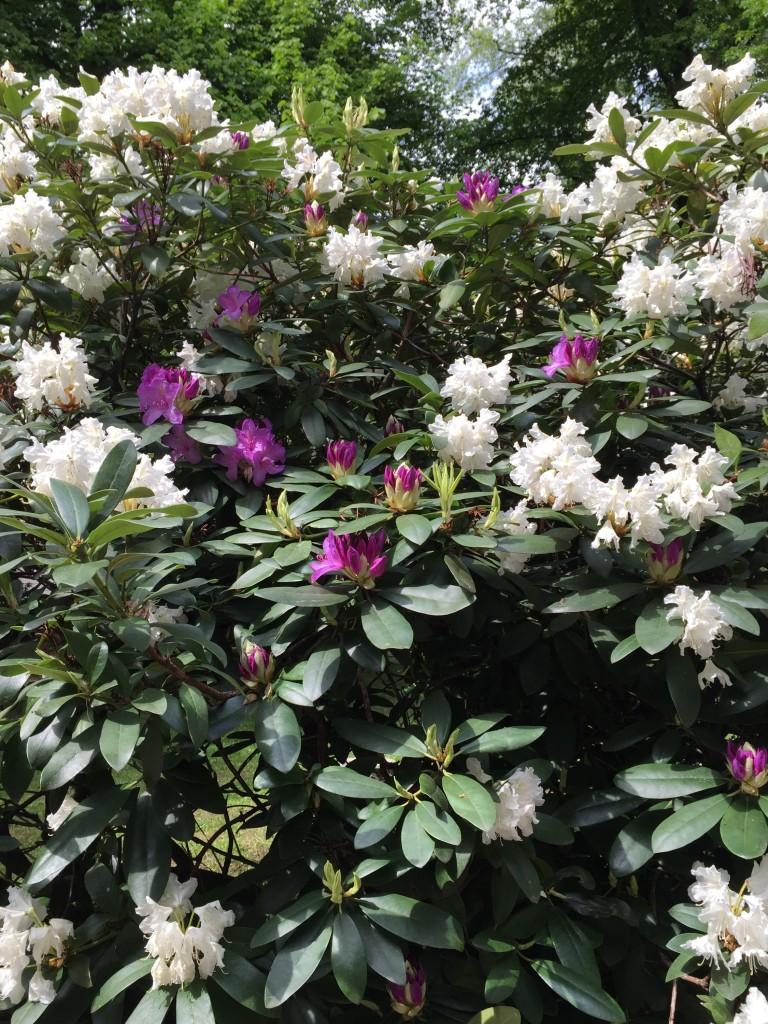 Weiße und violette Rhododendron-Blüten.