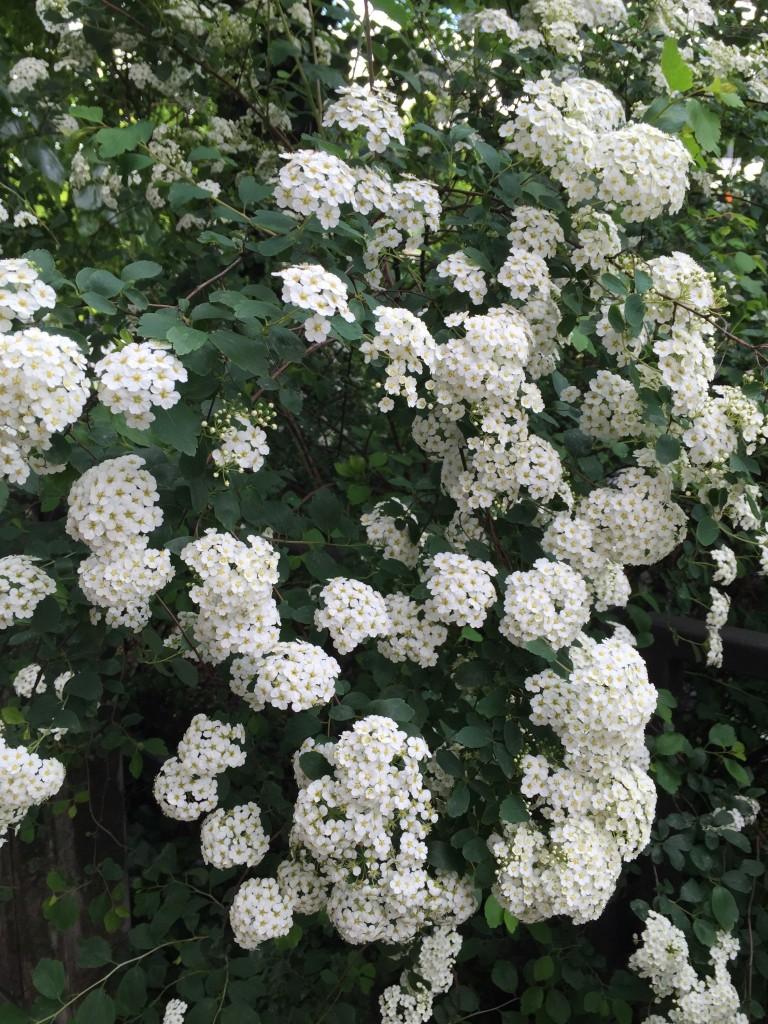Weiß blühender Busch.