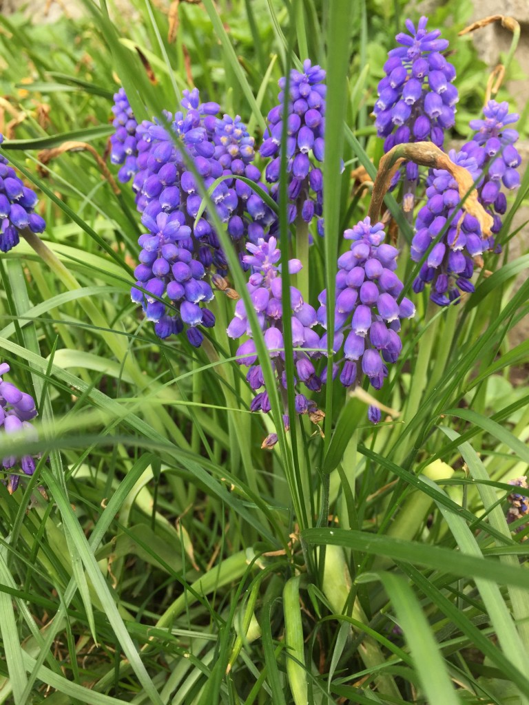 Violett blühende Traubenhyazinthen.