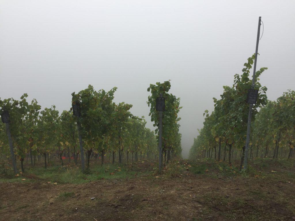 9:45 Uhr - die Weinreben auf dem Breyer Hämmchen liegen in dichtem Nebel.